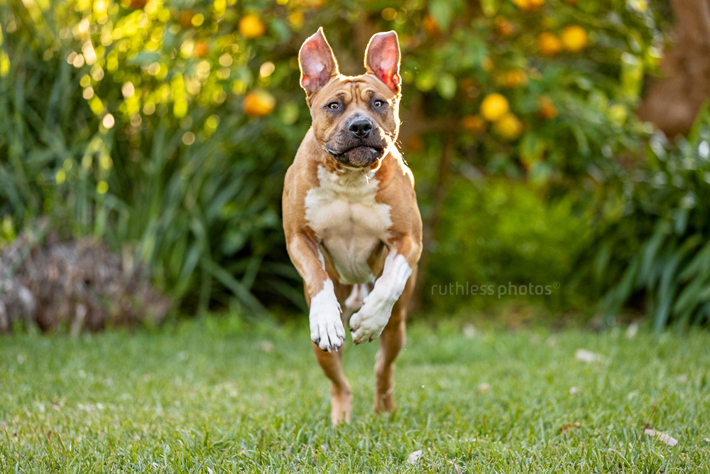 red pit bull type running towards camera in leafy garden