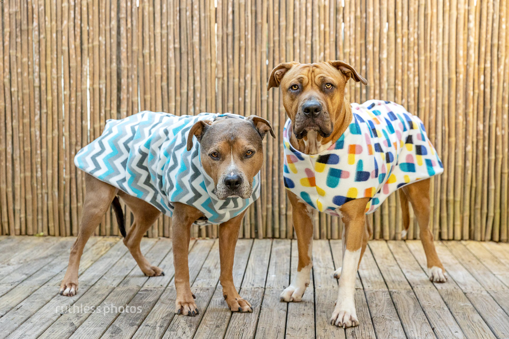 two pit bull type dogs wearing fleece coats