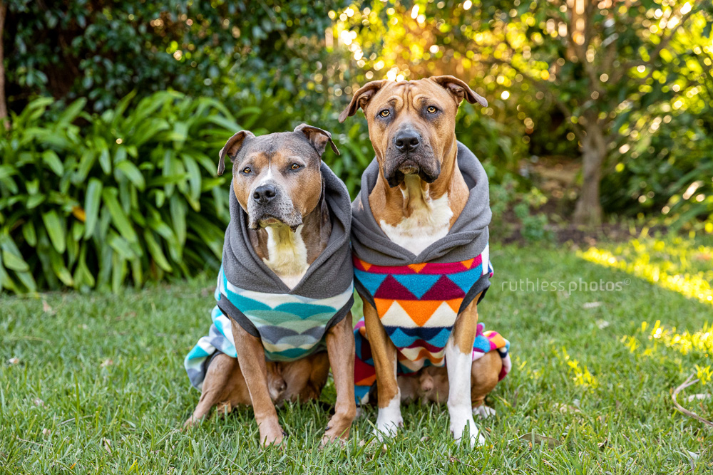 two pit bull type dogs wearing hoodies sitting in garden