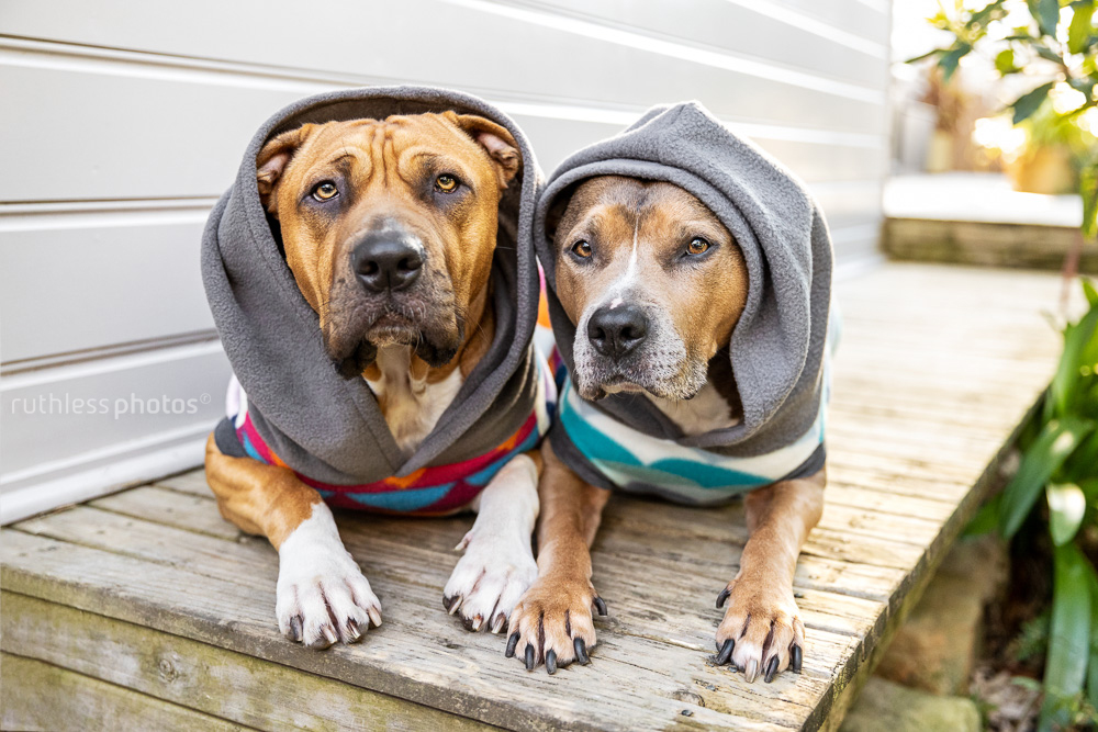 two pit bull type dogs wearing hoodies