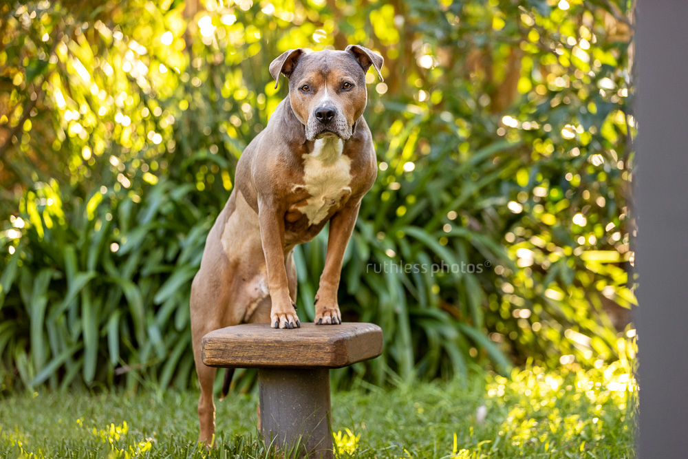 blue fawn sable smut amstaff senior dog posing on stool in garden