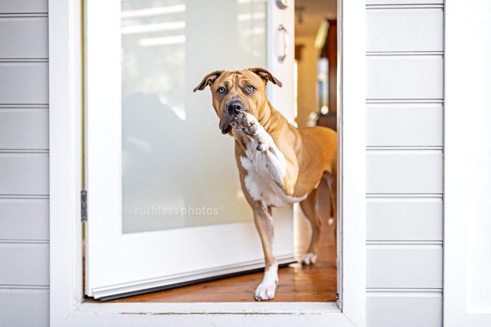 red pit bull type dog standing at front door waving