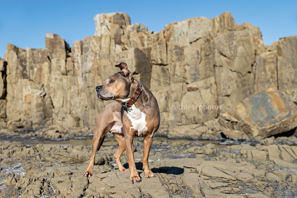 blue fawn sable smut amstaff senior dog standing in quarry with wind blowing ears