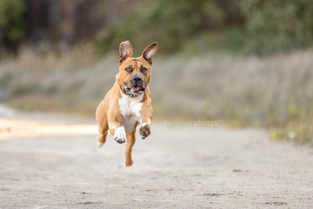 red pit bull type dog flying in desert
