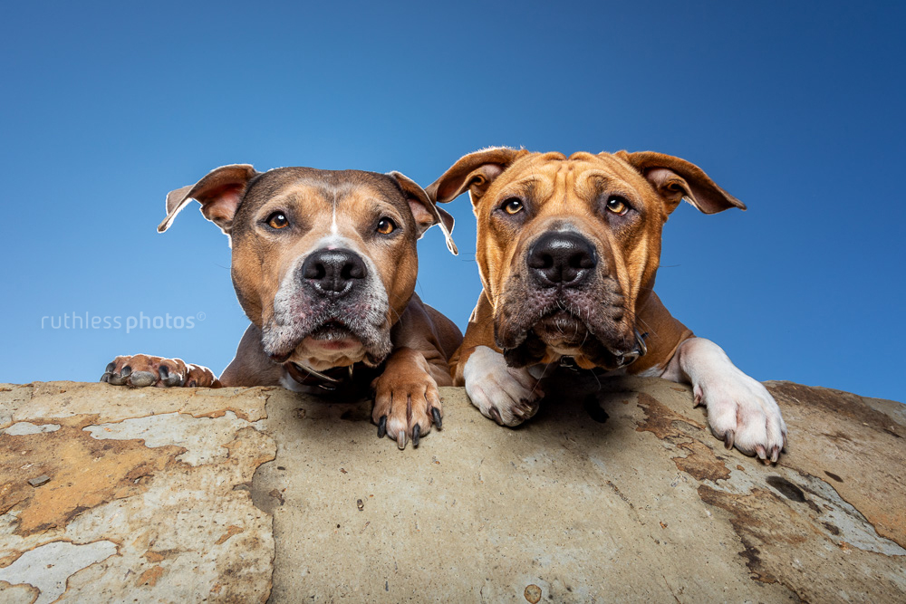 two pit bull type dogs peering over edge of rock against blue sky