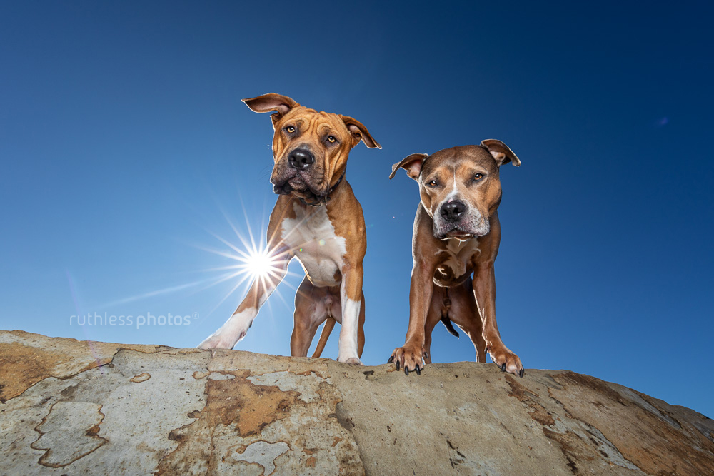 two pit bull type dogs standing on rock against blue sky with sun flare