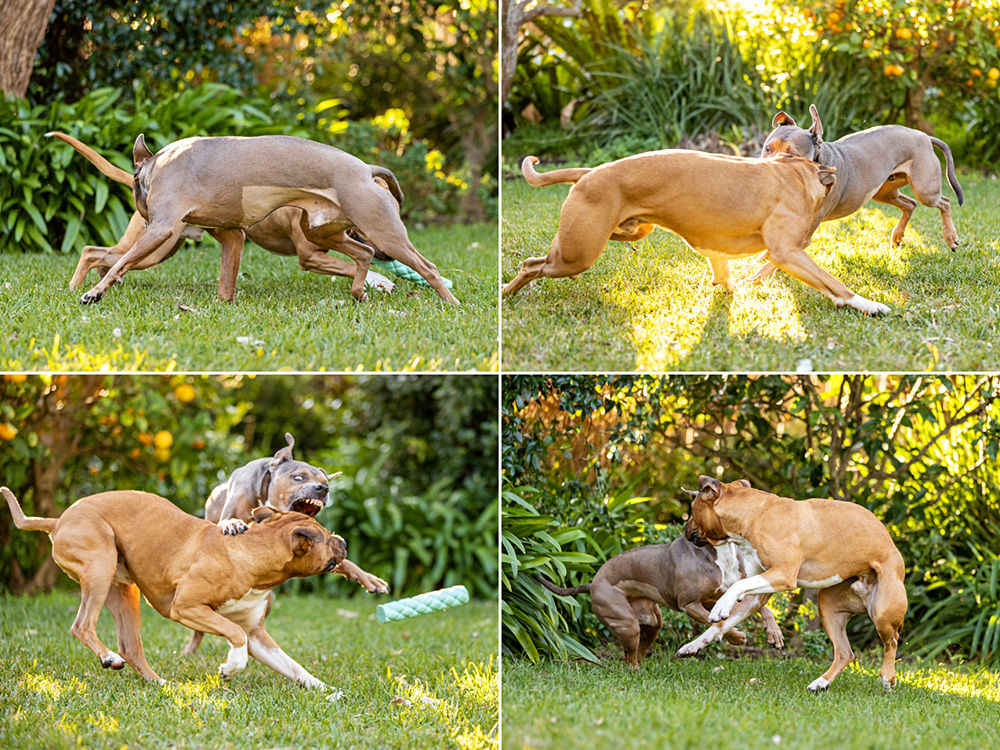 two pit bull type dogs playing in garden