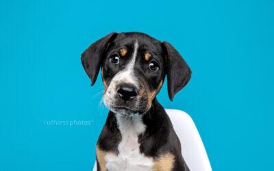 foster puppy Malo | Sydney Puppy Photos